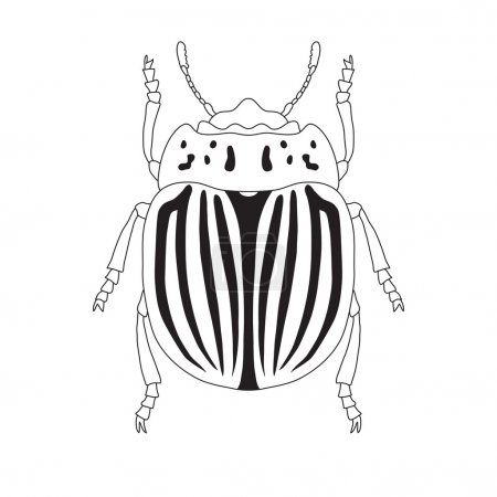 colorado potato beetle. Leptinotarsa decemlineata. Sketch of colorado potato beetle.  colorado  beetle isolated.