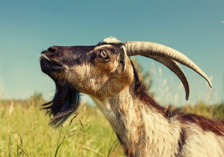 Dairy Goat with big Horns