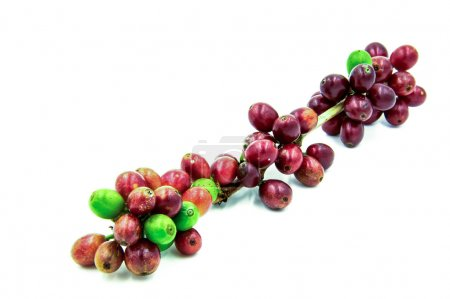 Fresh ripe red coffee beans on a white background.