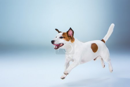 Small Jack Russell Terrier jumping high