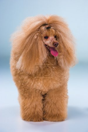 Red Toy Poodle puppy on a gray background