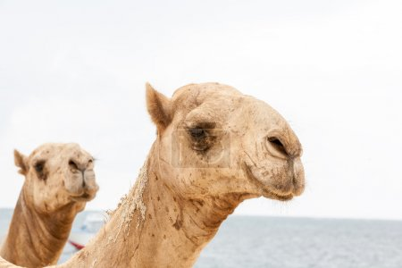 Two heads of camels on a ocean