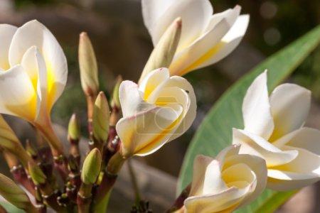 Photo pour Les fleurs blanches frangipani avec des feuilles ferment et des bourgeons de fleurs - image libre de droit
