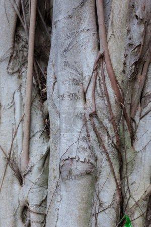 Photo pour Les racines de l'arbre banyan contre les feuilles vertes - image libre de droit