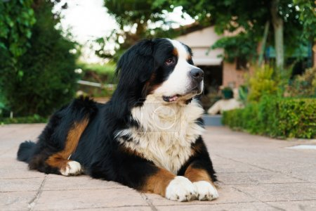Bernese mountain dog outdoors