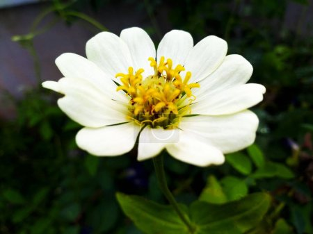 The white flowers of zinnia flowers focus on the p...