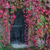 Old wooden door overgrown with ivy