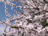 Blooming cherry tree - white spring flowers