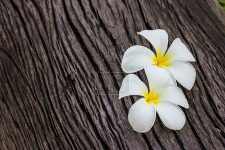 Photo pour Frangipani fleur sur bois - image libre de droit