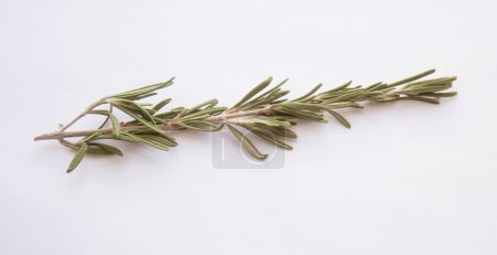 Rosemary on white background. Selective focus