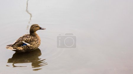 Lonely duck on the lake