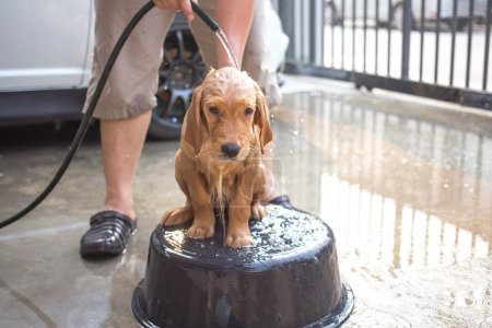 Golden retriever gets a bath