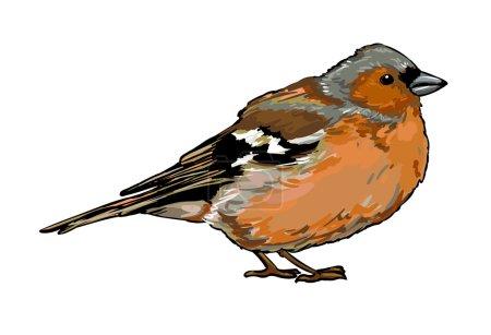 Chaffinch Bird sketch