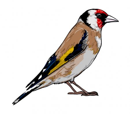 Goldfinch bird sketch vector illustration...