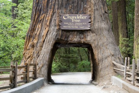 Photo pour A giant sequoia tree with a hole in the base large enough for a car to drive through - image libre de droit