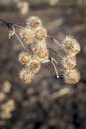 aspendendron