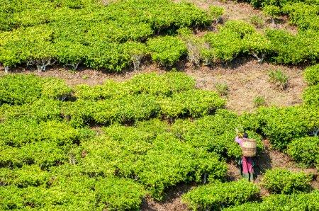Man Cutting Tea