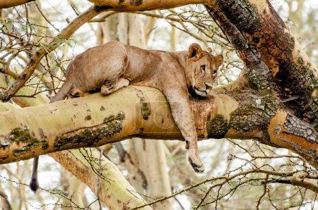 Photo pour Une Lionne allongée dans la branche d'un Acacia Fièvre avec sa jambe droite pendue. Sa tête est tournée vers sa droite et elle ne regarde rien de précis au loin, presque comme si elle rêvait . - image libre de droit