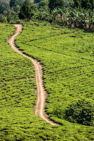Photo pour Une route de gravier à voie unique traverse en diagonale la terre d'une plantation de thé près de Rungwi dans le sud de la Tanzanie, Vu d'une altitude plus élevée. Des deux côtés de la route marron clair poussiéreuse se trouve des plantations de thé vert clair avec des lignes qui délimitent - image libre de droit