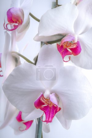 White Orchid Flowers Up Close.