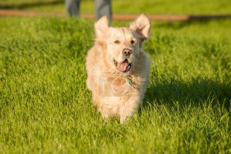 Golden Retriever Running in Green Grass.