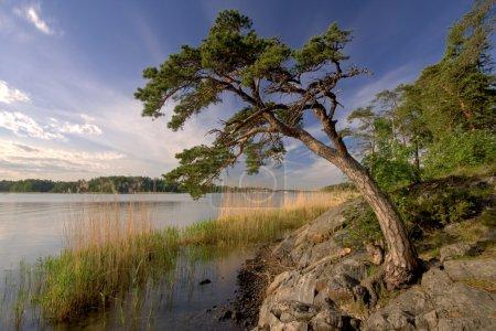 Photo pour Arbre de pin cultivant dans la roche de plage, plage de Rastila, Helsinki, Finlande - image libre de droit