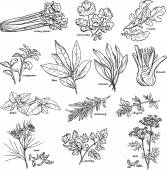 Vector collection of herbs and spices