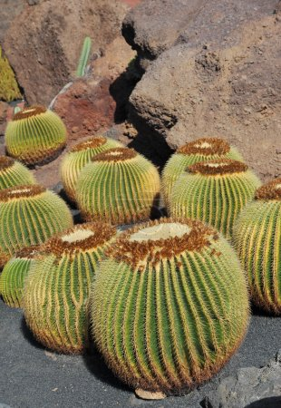 Cactuses in a tropical garden in Lanzarote