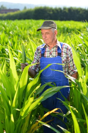 Organic Farmer looking at sweetcorn in a field.