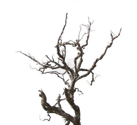 Photo pour Branches mortes Isolé sur fond blanc - image libre de droit
