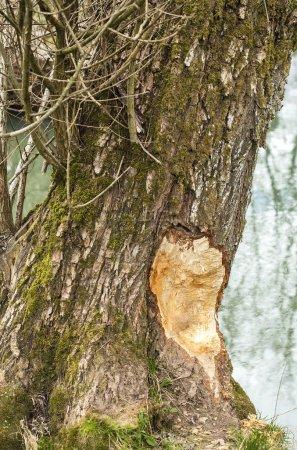 Photo pour Arbres endommagés par un castor. - image libre de droit