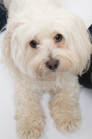 Beautiful and cute Maltese dog  (11 months old)