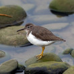 Patient Ruddy Turnstone bird balances on the river...
