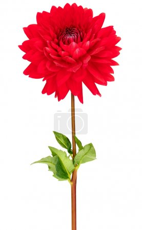 Dahlia flowers. Studio shot of pink, red, colored flower head with green stem and leaf, isolated on white background, macro, grace