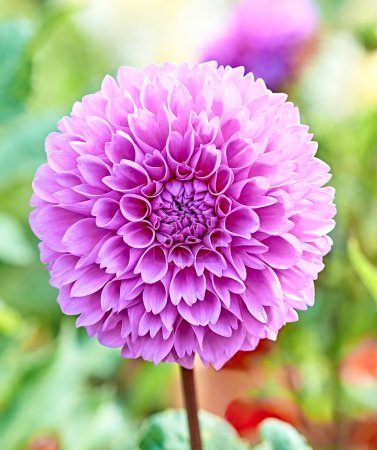 Dahlia, purple spring flower with stem on floral background
