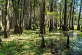 Roots of Cypress trees at Caddo Lake,  Texas