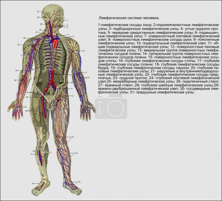Illustration for The lymphatic system of the person - Royalty Free Image