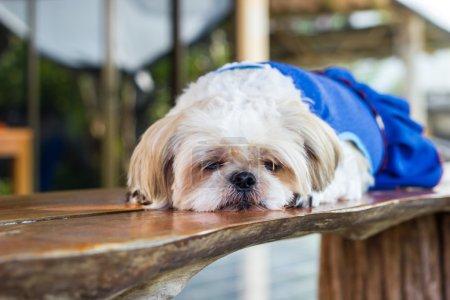 Photo pour Mignon chien Shih tzu dormir sur une table en bois - image libre de droit