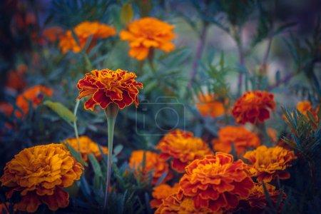 Marigold flower background