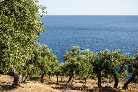 Photo pour Oliveraie au-dessus de la mer bleue horizontale - image libre de droit