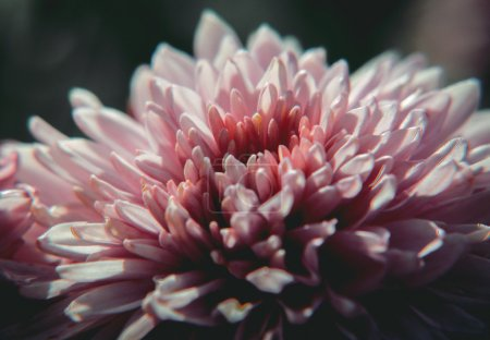 Photo pour Fleur violette et bleue avec fond blanc - image libre de droit