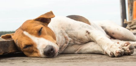 Photo for Lazy dog relaxing and sleeping on wood bridge - Royalty Free Image