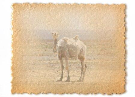 Photo pour Carte rétro, chameau sauvage - image libre de droit