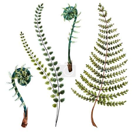 Photo pour Isolé belles feuilles de fougère dessinées à la main aquarelle - image libre de droit