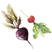 Watercolor drawing of vegetables - vector