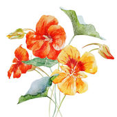 Watercolor nasturtium flower