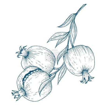 Hand drawn pomegranate fruit