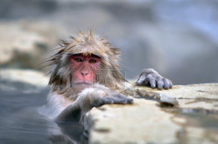 Relaxing Monkey in a natural onsen (hot spring)