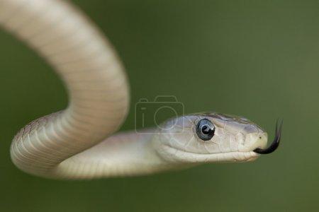A Black Mamba snake uses its tongue to pick up sce...