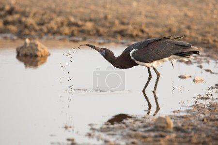One Abdims Stork drinking water, Serengeti, Tanzan...